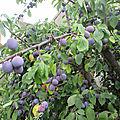 Les prunes de mon jardin
