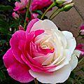 Douceur de roses avec manuela, 18e inscrite