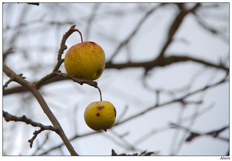 pommes rescapées