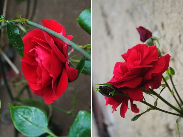 rose rouge 01