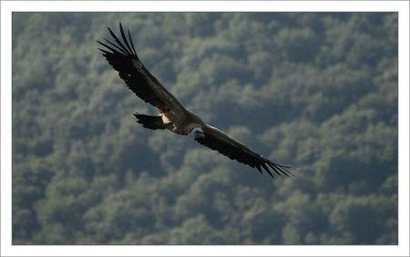 Guara_Lecina_vautour_profil_fond_arbres_100709