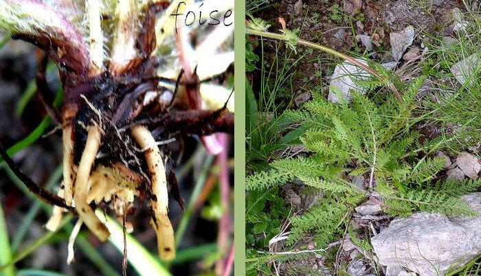 racines munies de fibres renflées au milieu feuilles presque toutes à la base