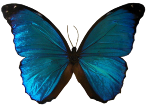 pfl_papillon_bleu_fonce_p