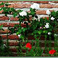 Roses blanches 080515