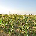 Les champs de Maïs