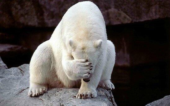 ours blanc désabusé
