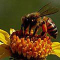 Les abeilles ... de l'ile d'aix …