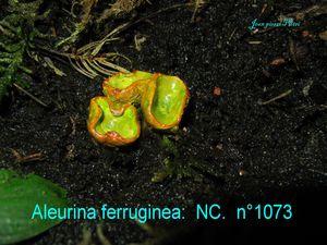 Aleurina ferruginea n°1073
