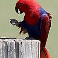 Aves - grand eclectus - eclectus roratus