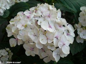 Hydrang_a_macrophylla