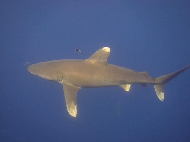 requin longimanus (1)