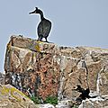 Nidification des cormorans huppés • Phalacrocorax aristotelis