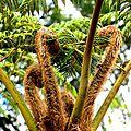 Fougères arbustives , parc du couvent de santa clara à funchal , ile de madère