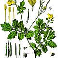Herboristerie de sorcière: la chélidoine, herbe à verrue, médicament antispasmodique, propriétés et utilisations ...
