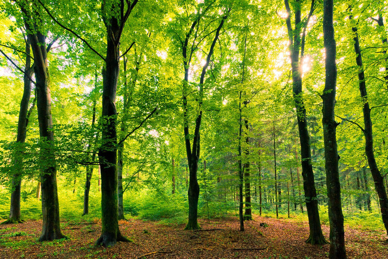 beech-tree-forest-natural-1337704