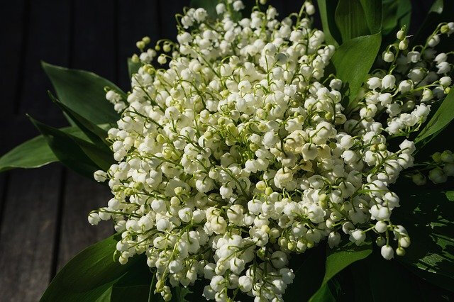 lily-of-the-valley-2188398_640