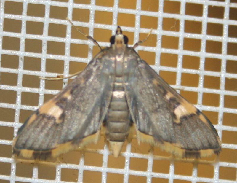 Thliptoceras longicornalis