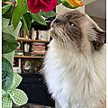 Les premières roses pour prendre la pose ...