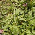 Appelée aussi herbe aux charpentiers ou petite consoude…