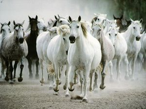 chevaux-sauvages-blanc
