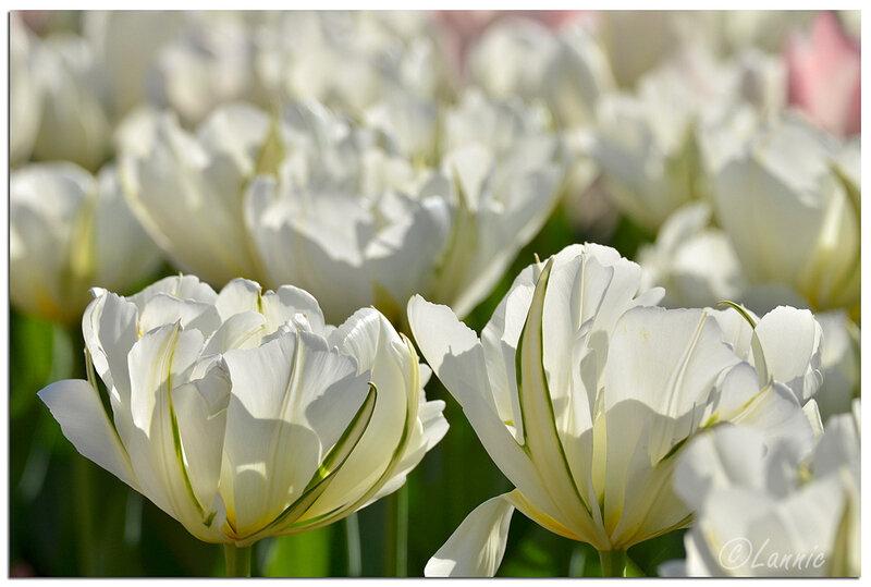 Parc_floral_tulipe_blanche