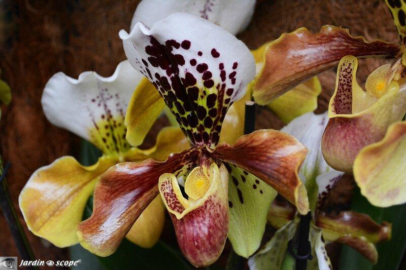 Orchidée-332