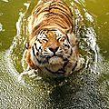 tigre_590838957_n