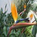 Strelitzia reginae (oiseau du paradis... me rappelle l'océan Indien!)
