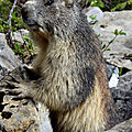 Dame marmotte (2)