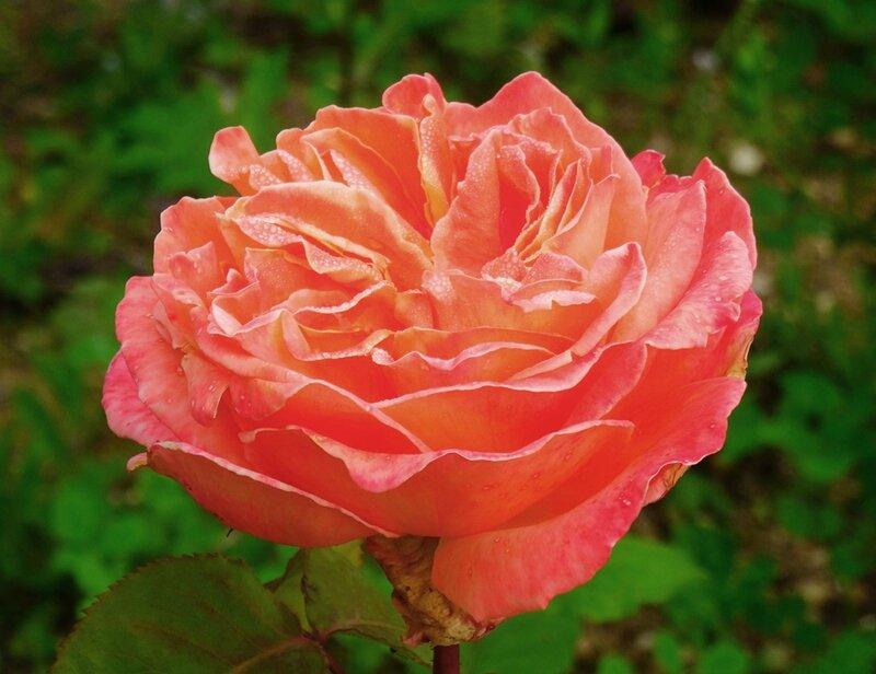 rosier rene goscinny