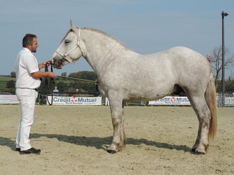 Idilik du Cambronnais - 19 Septembre 2020 - Concours des Etalons Boulonnais - Samer (62) - 4e (2 ans - petites tailles (moins d'1m65)) Approuvé
