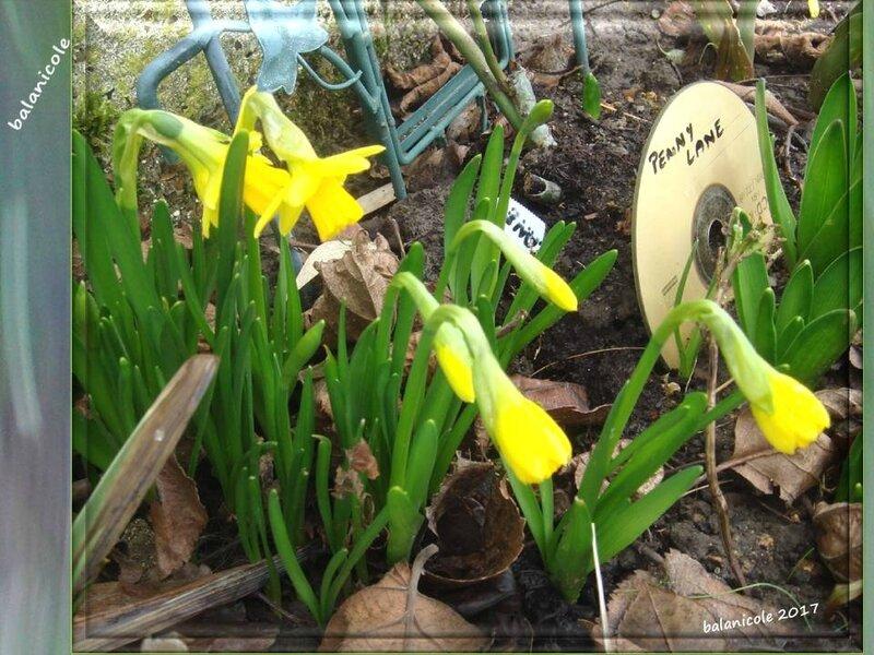 balanicole_2017_01_le printemps_29_jonquilles01