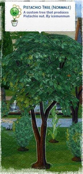 pistachio adulte