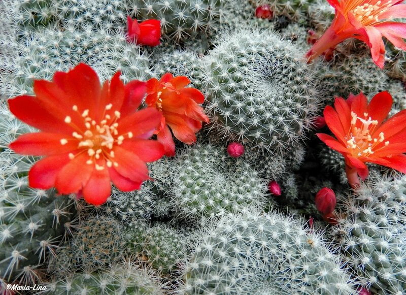 image fleur de cactus