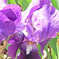 Iris, d'ici ou d'ailleurs ...
