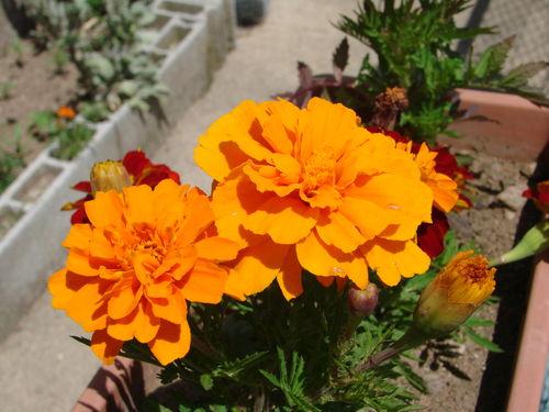 2008 07 11 Des fleurs d'oeillets d'Inde