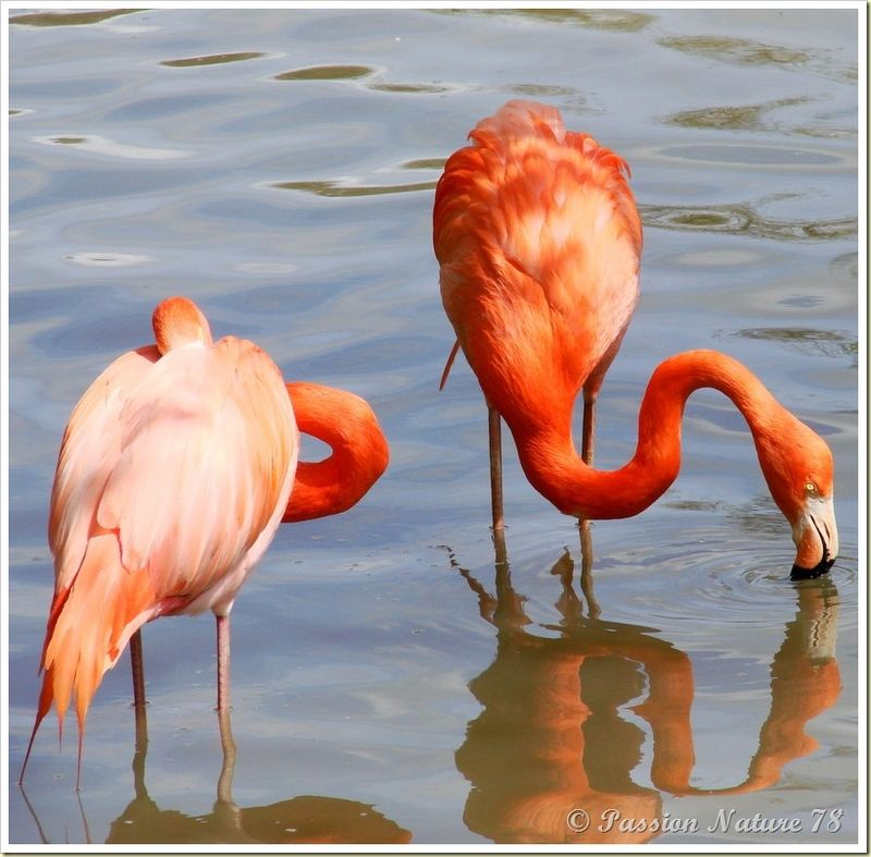 Les flamants roses (13)