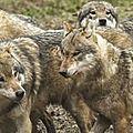 Loups, lynx, ours... les dernières de férus.