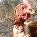 poules février 2012 017