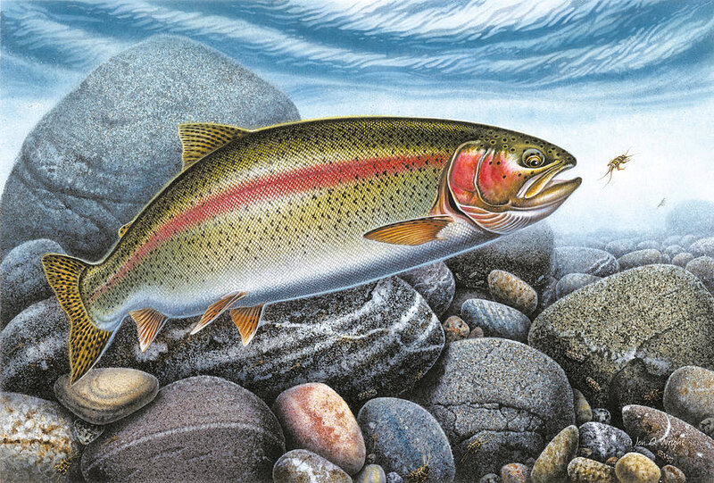 rainbow-trout-stream by-jon-q-wright