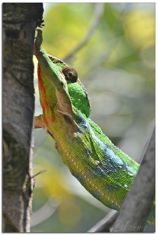 Zoo_Vincennes_cameleon_panthere_1