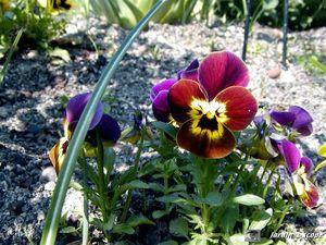 Viola hybride • Viola x wittrockiana