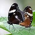 Hypolimnas bolina (4)