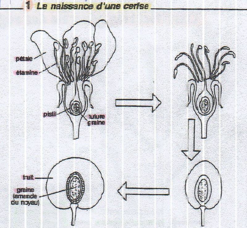 Les Sciences 2 La Reproduction Des Plantes A Fleurs Girl Don T Come