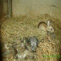 Famille lapin