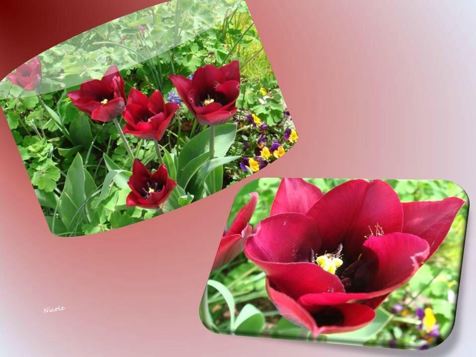 tulipes 2015_03_9