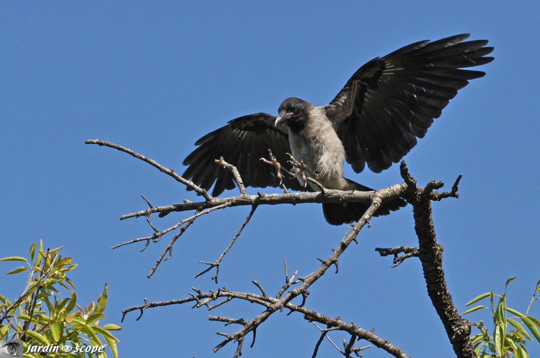 Corneille mantelée • Corvus cornix • Famille des Corvidae