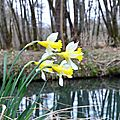 Jonquille, narcissus pseudonarcissus