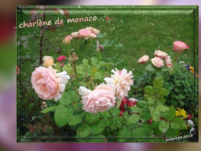 balanicole_2016_11_les nouveaux rosiers de balanicole_c comme charlène de monaco_11