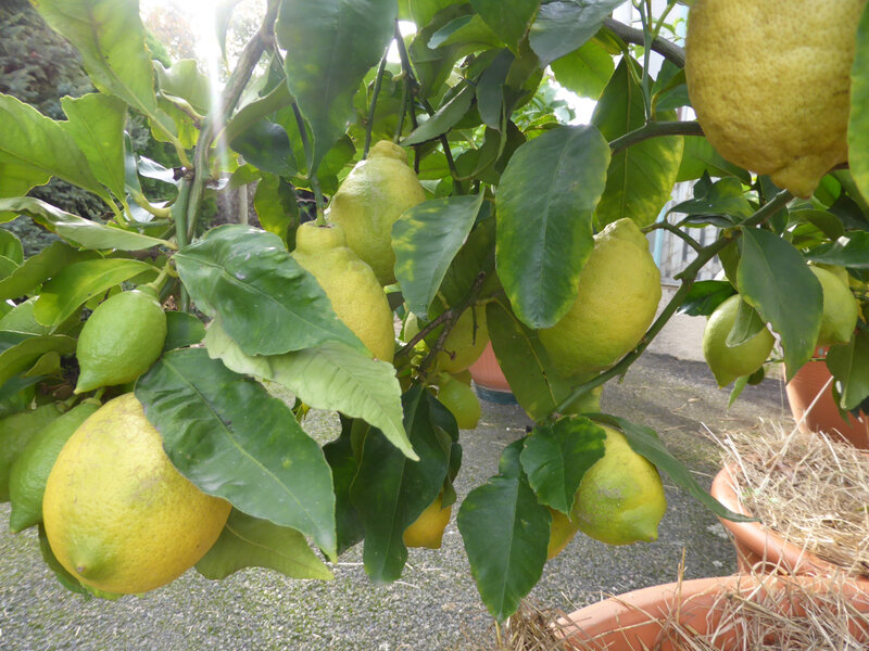 23-agrumes, citronniers (5)